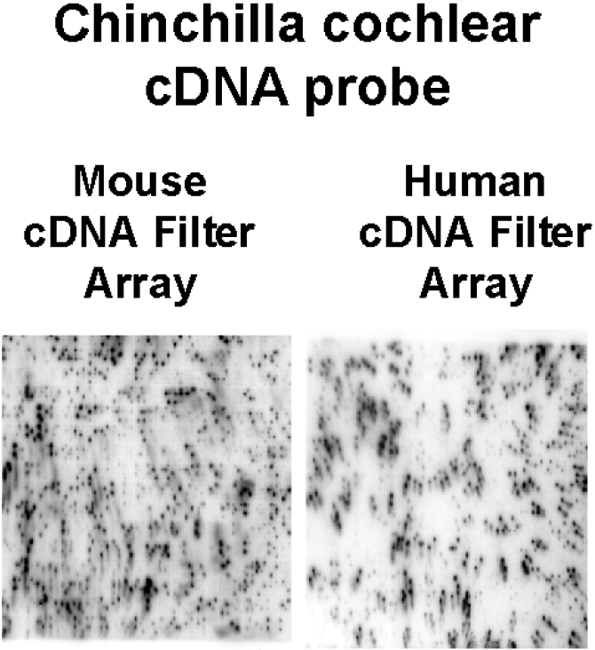 Figure 2. Chinchilla cochlear cDNA transcript probe labelled with 32P-a-dCTP and hybridized to mouse and human cDNA filter arrays. Note stronger labelling to mouse filter arrays versus human