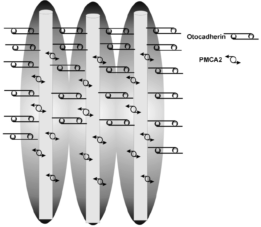 Figure 5. Schematic drawing of the wild type gene for Ahl and PMCA2. The shaded background indicates normal levels of calcium are bathing the stereocilia, maintained by the PMCA2 pumps.