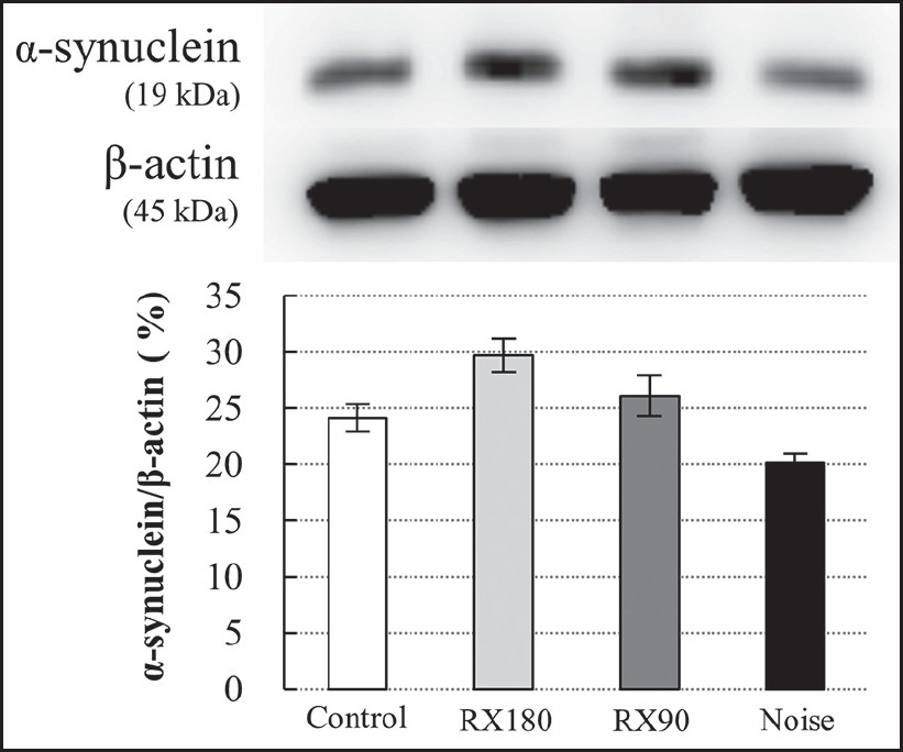 Figure 8: Western blot assay of α-synuclein in cochlear homogenates. Renexin-treated groups show increased ratios of α-synuclein compared with the control and noise groups